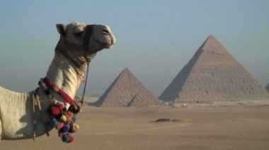 Camel in front Pyramids — Vídeo de Stock