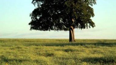 Tree in the field — Stock Video