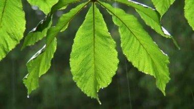 Green rain leaves — Stock Video