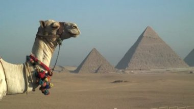 Camel in front Pyramids — Stock Video