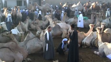 Camel Fair Birqash Cairo — Stock Video