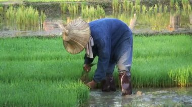 Worker gathering the Rice — Stock Video