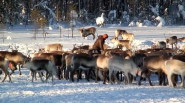 Reindeer herder in Sweden — ストックビデオ