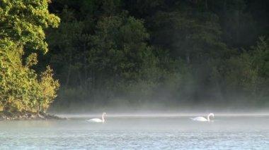 Swans on Derwent lake — Stock Video