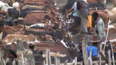 Tribesmen herding Cows — Stock Video