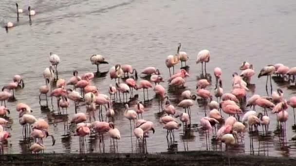 Flamingoes Phoenicopterus roseus — Vidéo