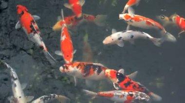 Large Japanese goldfish — Stock Video