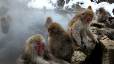 Japanese Macaques — Stockvideo