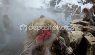 日本猕猴 — 图库视频影像