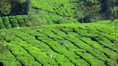 Workers cutting the tea — Stock Video