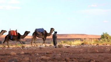 Merchant leading camels — Stock Video