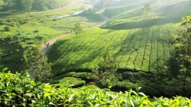Tea Plantation and local workers — Stock Video