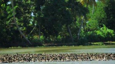 Duck farming on Kerala backwaters — Stock Video
