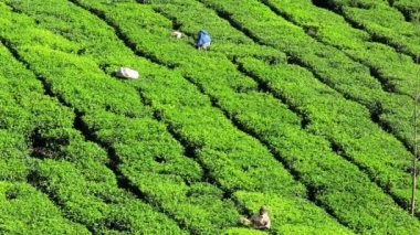 Workers cutting tea on plantation — Stock Video