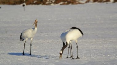 Red crowned Cranes — Stock Video