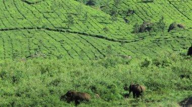 Elephants feeding freely in countryside — Stock Video