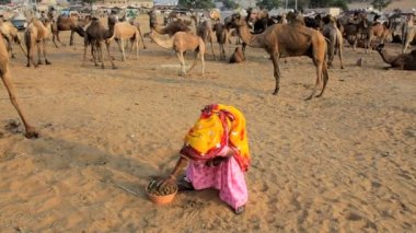 Camels food being prepared by woman — Stock Video