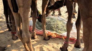 Camels feeding — Stock Video