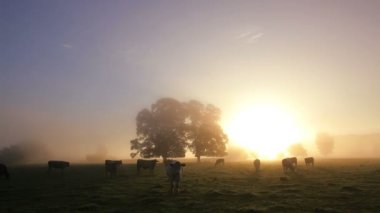 View of cows in mist filled fields at dawn — Stock Video