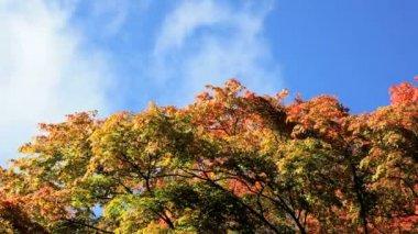 Westonbirt Maple tree — Stock Video
