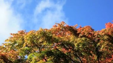 Autumn clouds and Maple trees — Vídeo stock