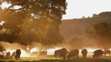 Cows in the mist at dawn — Vídeo de stock