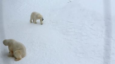 Polar Bears in snow covered Wildlife Park — Wideo stockowe