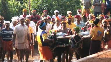 Kambala season traditional buffalo racing — Stock Video