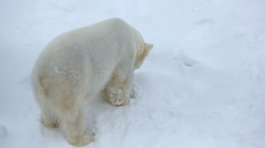 Polar Bear relaxing in the snow — Vídeo de stock