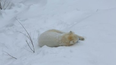 Polar Bear relaxing in the snow — Wideo stockowe