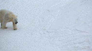 Polar Bears in snow covered Wildlife Park — Vídeo de Stock