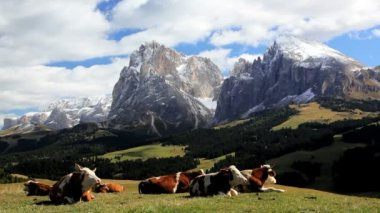 Cattle leisurely chewing cud in an alpine meadow — Vídeo de stock