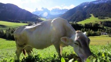 Cow in Alpine meadow — Stock Video