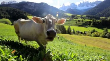 Cow in Alpine meadow — Vídeo de stock
