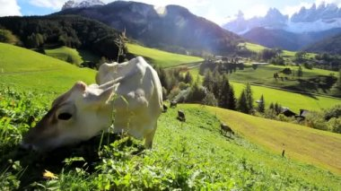 Cow in Alpine meadow — Stock Video