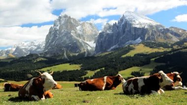 Cattle leisurely chewing cud in an alpine meadow — Stock Video