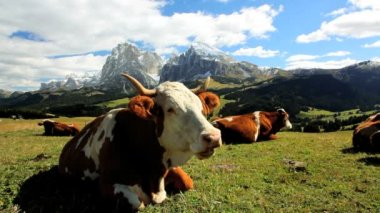 Cattle leisurely chewing cud in an alpine meadow — Stockvideo