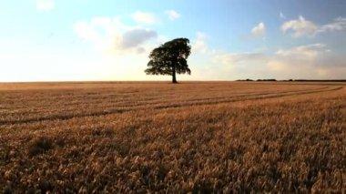 Tree Barley field crop farm field agriculture wheat farming bread — Stock Video
