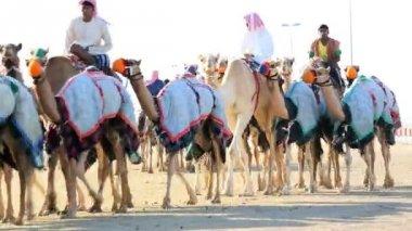 Dubai UAE camels racetrack sport racing animal — Stock Video