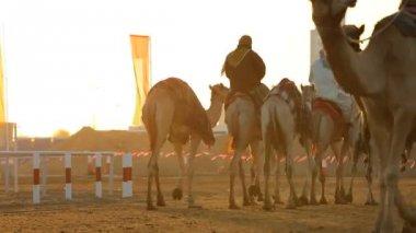 Dubai UAE camels Dubai racetrack sport racing animal — Stock Video