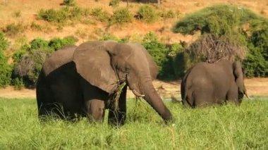Chobe National Park Botswana Africa wildlife elephant — Stock Video