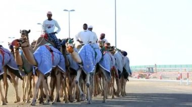 Dubai UAE camels racetrack sport racing animal UAE — Stock Video