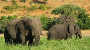 Pilanesburg elephant Johannesburg Savanna South Africa — Stock Video