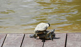 Turtles near the canal — Стоковое фото