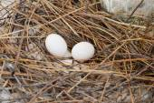 Pigeon egg on the nest — Stock Photo