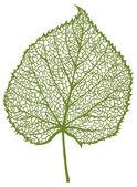 Linden leaf — Stock Vector