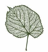Vector linden leaf — Stock Vector