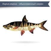 Asp predatory freshwater fish on white background — Stock Vector
