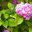 The pink Hortensia close up — Stock Photo #67132403