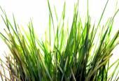 Grüne gras auf weiß — Stockfoto